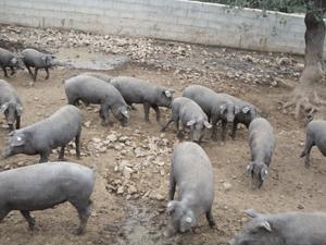 corral-con-cerdo-iberico