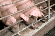Cotizaciones del cerdo en Mercolleida