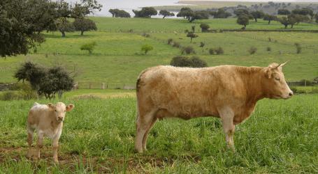 Las ayudas a las vacas nodrizas superan los 187 millones