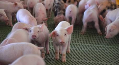 El Gobierno murciano y El Pozo afirman cumplir la ley frente a las imágenes de sufrimiento de los cerdos de una granja murciana en el programa Salvados