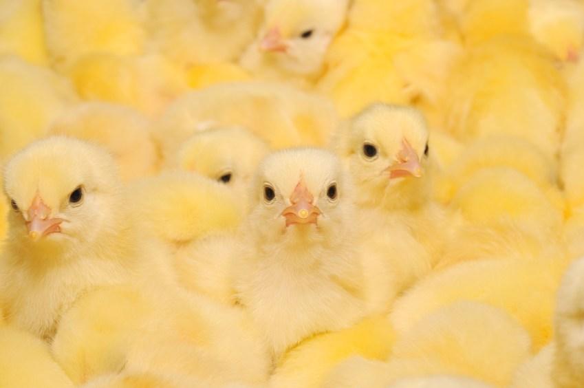 selko-trouw-pollos-broiler