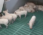 La guerra comercial EE.UU.-China, una ocasión para el porcino español