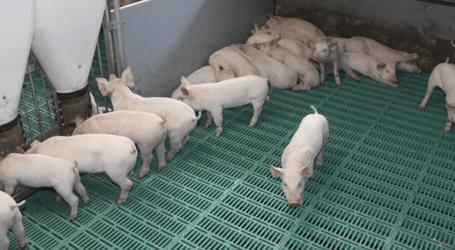 Aragón crea dos grupos operativos para impulsar la I+D+i en sanidad y bienestar animal en el porcino