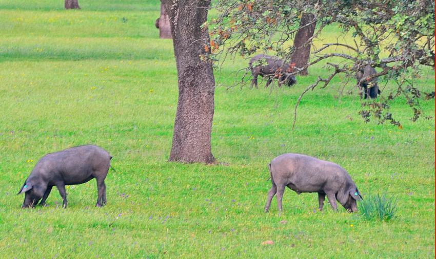 cerdo-iberico-montanera