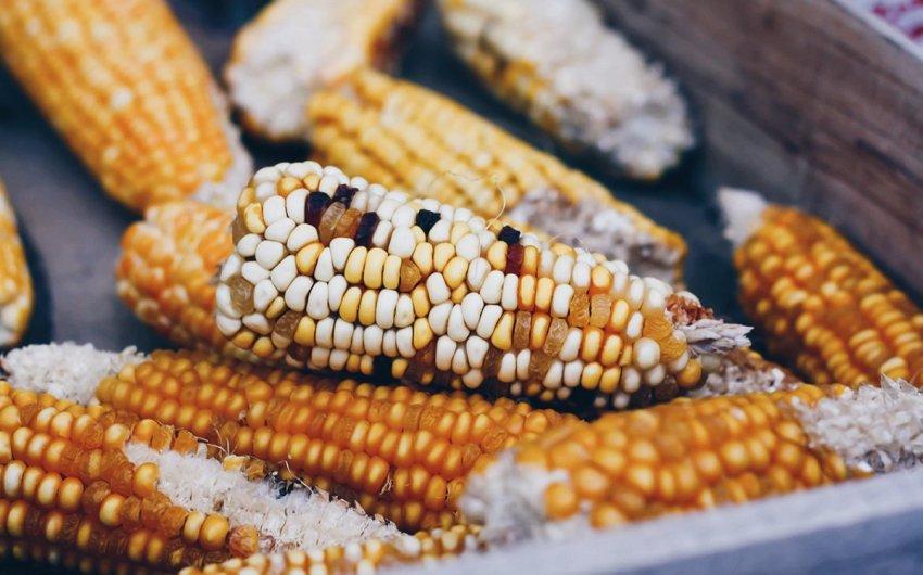 micotoxinas maiz