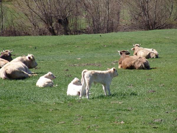 vacas pirineo