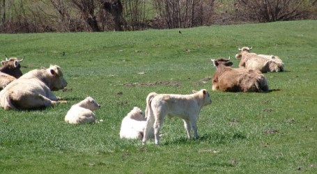 Valorizar la carne de vacuno producida en los Pirineos con razas autóctonas