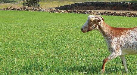 Epidemiología de la Paratuberculosis en granjas caprinas lecheras de Andalucía