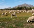 El comercio de corderos repunta más de un 15% por la Fiesta del Sacrificio