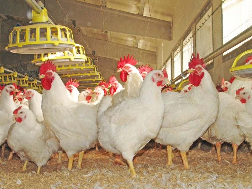 IRTA-Avicultura