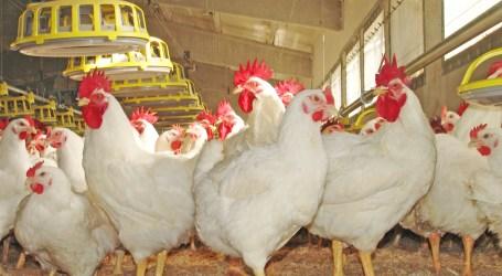 En marcha el centro de referencia para el bienestar de las aves de corral y otros animales pequeños de granja, en el que participa el IRTA