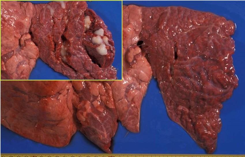 Fig. 8: Bronconeumonía catarral-purulenta crónica, asociada a Pasteurella multocida. Abundante contenido mucoso y bronquiectasia (recuadro).