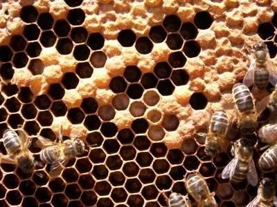 cría de abejas (pollo)