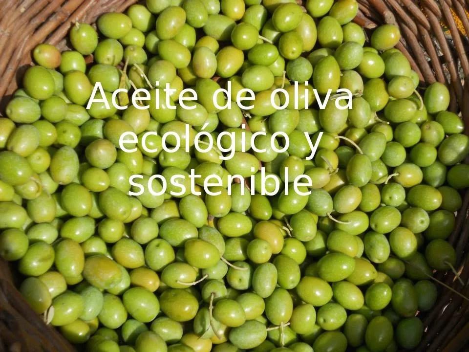 aceitunas de la variedad verdeja castellana de los olivares de la Sierra de Altomira