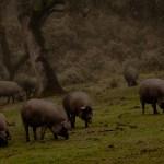 Cerdos Ibéricos en la Dehesa Extremadura