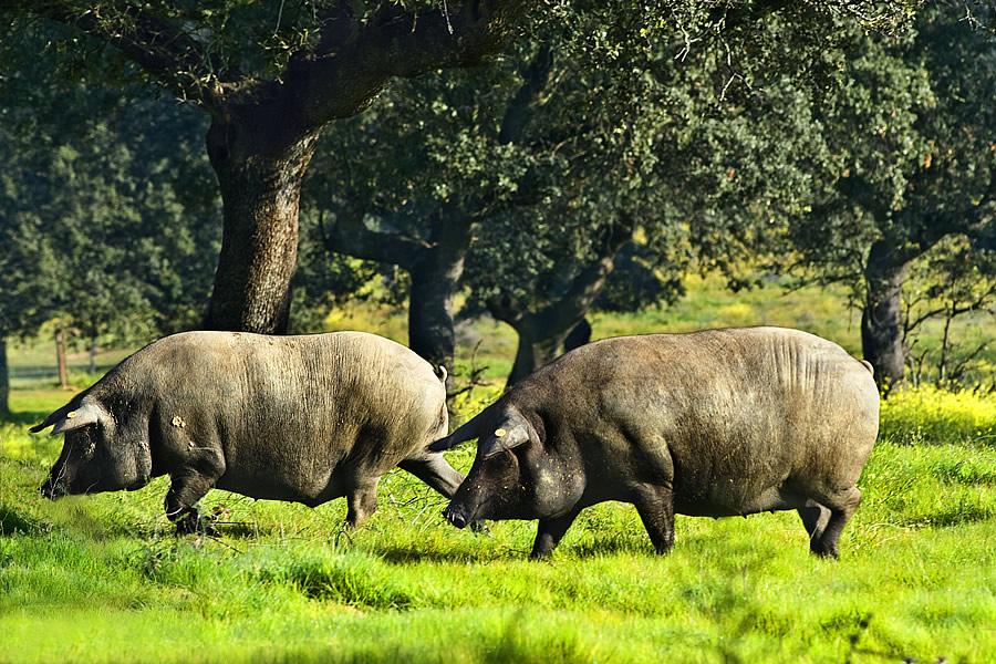 Cerdos 100% ibéricos