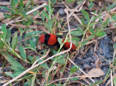 Is A Cow Killer Ant Really An