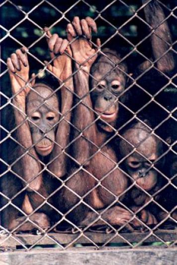 Bayi orangutan yang dijual di pasar burung