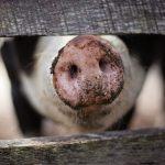 «Pig Boy 1986-2358» de Gwendoline Soublin : eh ben mon cochon !
