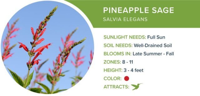 pineapple sage best perennial