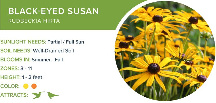 best perennials black eyed susan