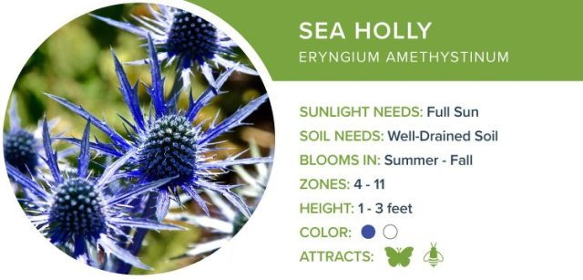 sea holly best perennial flowers