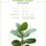Rubber Plant Care Growing Information And Tips Proflowers