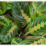Prayer Plant Care Guide Growing Info Tips Proflowers Blog