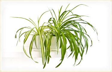 Spider Plant Care Guide: Growing Information + Tips - ProFlowers Blog