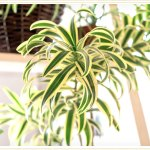 Spider Plant Care Guide Growing Information Tips Proflowers Blog