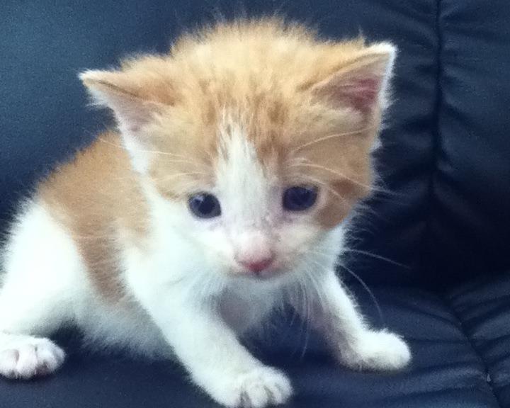 Gus Bennett, 4 weeks old, orange and white kitten