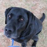 Mason, black lab looking up