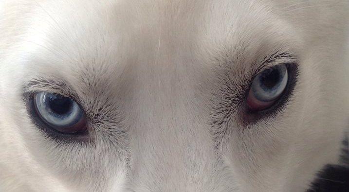 Mystic, white Siberian Husky eyes