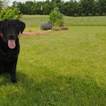 Black lab in field