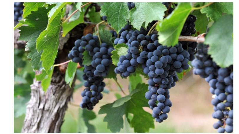 Le raisin, c'est possible dès 4/6 mois