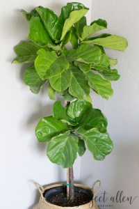 Project Allen Designs How To Keep A Fiddle Leaf Fig Alive!