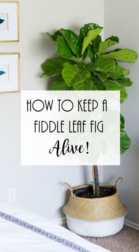 How to Keep fiddle leaf fig alive, Fiddle Leaf Fig Care. Fiddle leaf fig watering instructions,