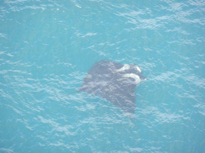 Manta-ray swimming