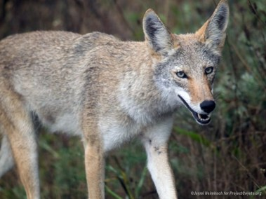 Smiling Coyote