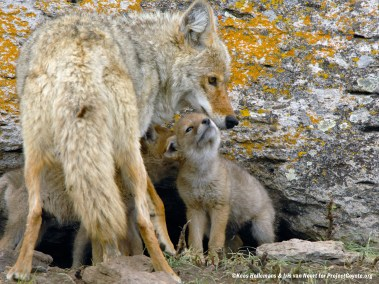Coyote Mother with her Pup