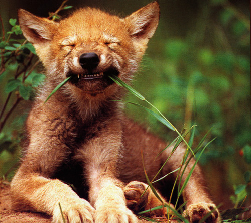 Red_Wolf_Pup_usfws