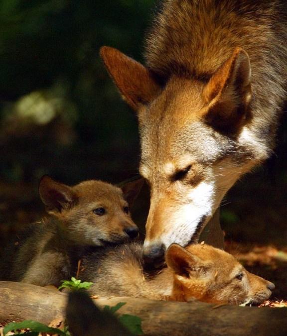 ACTION ALERT: Speak Out for Red Wolves