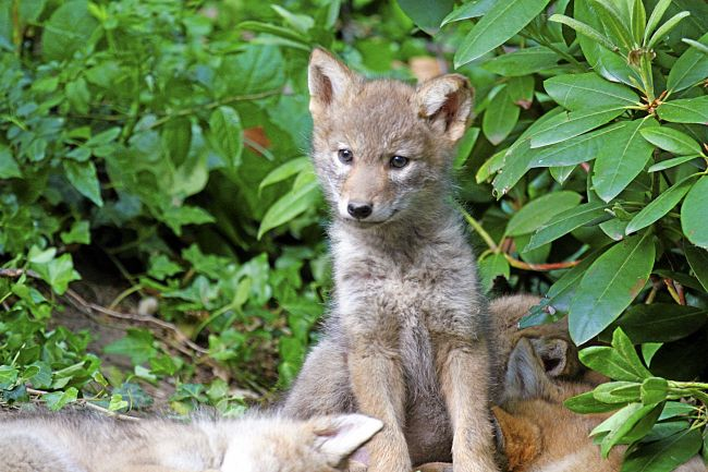 Tails of Marin: Keys to living with coyotes in Marin