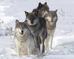 Wolf-pack-Lamar-Valley-Meg-Sommers