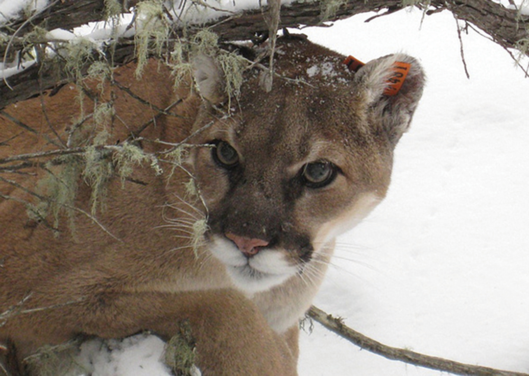 Losing Big Carnivores May Be as Big a Threat as Climate Change