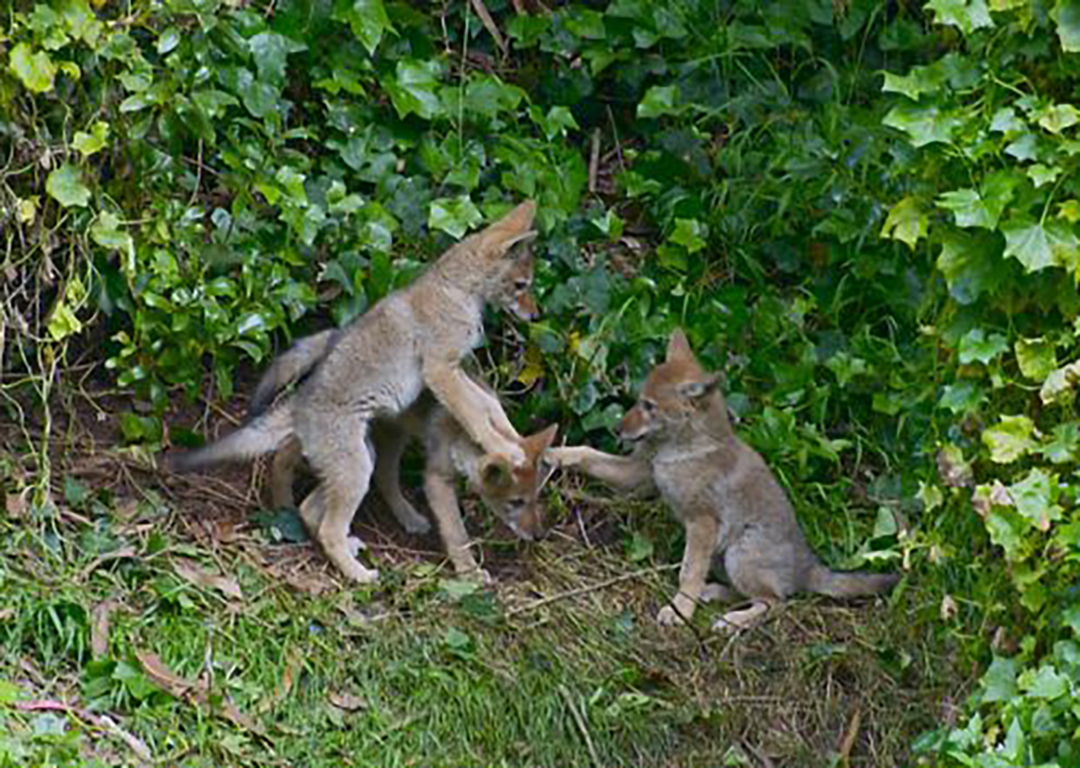 Coyote-human coexistence urged as animals migrate