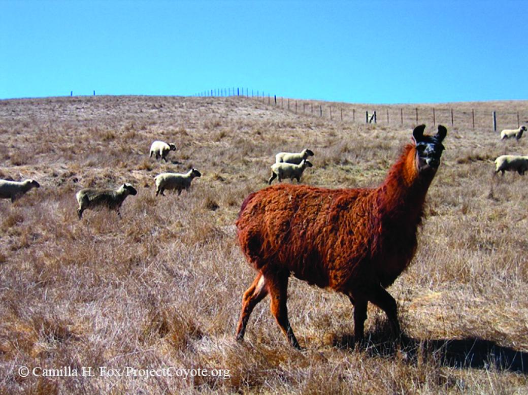 A llama obtained through the Marin County Livestock & Wildlife Protection Program guards sheep.