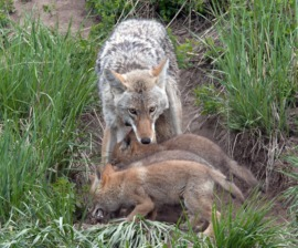Coyotes Under Fire