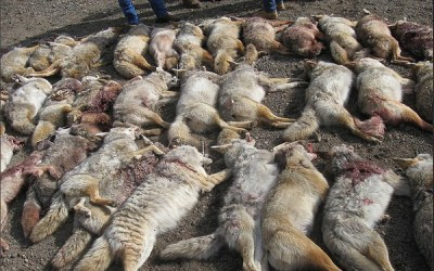 ACTION ALERT: Help Stop Coyote Hunting Contest in California
