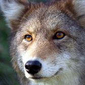 ACTION ALERT: CA Residents – Speak Out for Wildlife